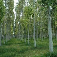 Tree Eucalyptus/Safeda (Eucalyptus spp.)