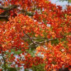 Tree Gulmohar (Delonix regia)