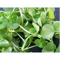 Herb Watercress