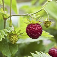 Herb Alpine Strawberry