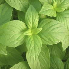 Herb Basil Green (Genovese)