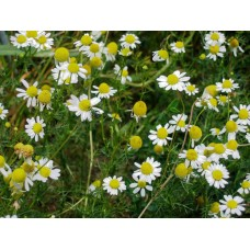 Herb German Chamomile
