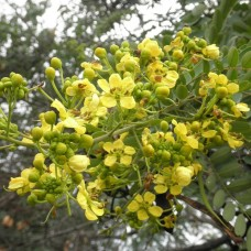 Tree Cassia glauca