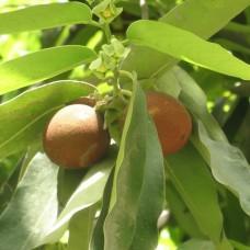 Tree Chikrasiya (Chukrasia tabularis)