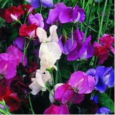 Garden peas - Lathyrus odoratus