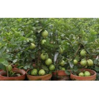 Red guava plants