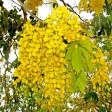 Tree Amaltas (Cassia fistula)