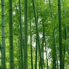 Tree Bamboo (Bamboosa)