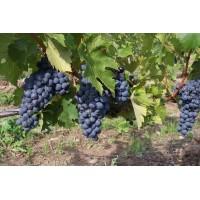 Black Grapes plants