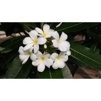 Champa plants