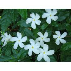 Chandni plants