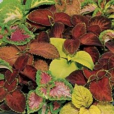 PanAm Premium High Quality Coleus Wizard Mix