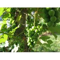 Green Grapes plants