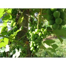 Green Grapes plants