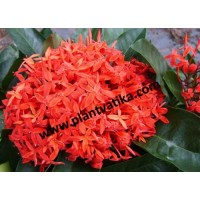 Chinese Ixora plants