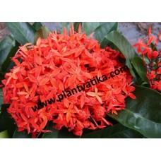 Chinese Ixora plants