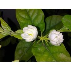 Mogra plants