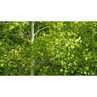 Poplar Plants
