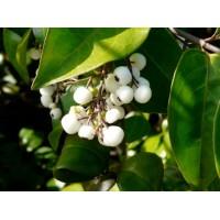 White Berries plants