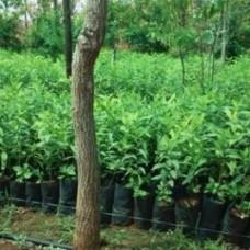 White sander plants